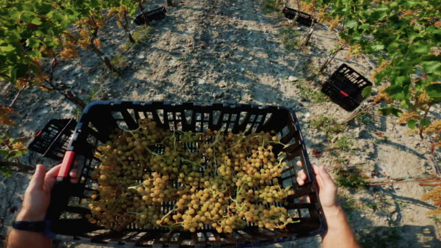 grape harvesting for wine making storytelling: pov work action - basket stock videos & royalty-free footage
