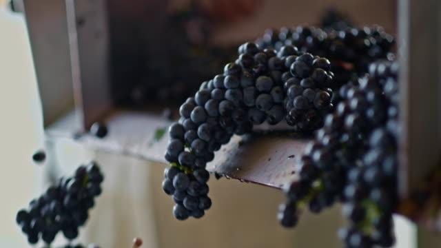 grape harvesting for wine - uva video stock e b–roll