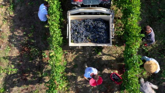 grape harvesting in chianti wine region, tuscany, italy - grape stock videos & royalty-free footage