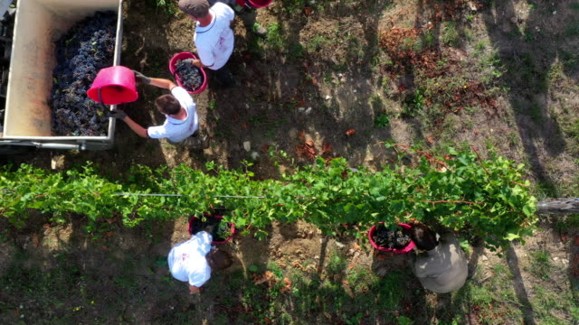 grape harvesting in chianti wine region, tuscany, italy - non us film location stock videos & royalty-free footage