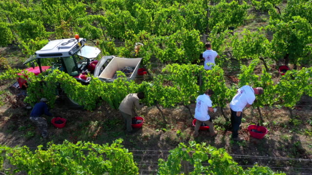 grape harvesting in chianti wine region, tuscany, italy - italian culture stock videos & royalty-free footage