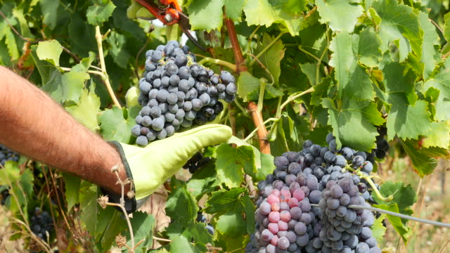 grape harvesting in france - grape leaf stock videos & royalty-free footage