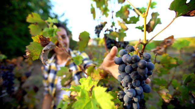 grape harvesting in vineyard - grape leaf stock videos and b-roll footage