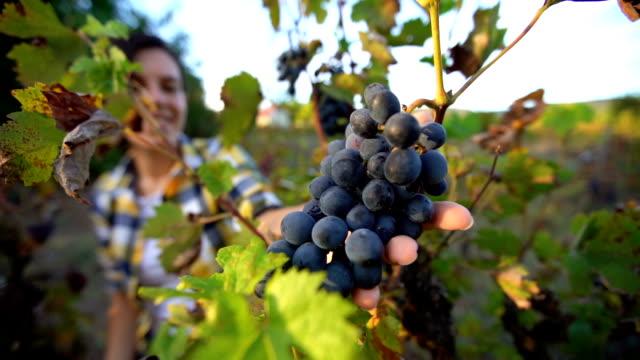 vídeos y material grabado en eventos de stock de vendimia de uva en viñedo - hoja de la vid
