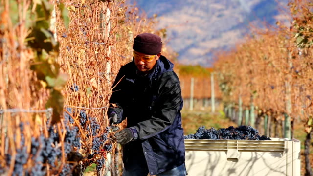 grape harvesting okanagan valley british columbia - lavoratore emigrante video stock e b–roll