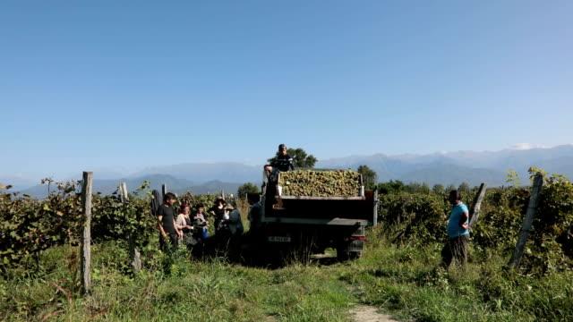 grape harvesting, telavi, kakheti, georgia - grape stock videos & royalty-free footage