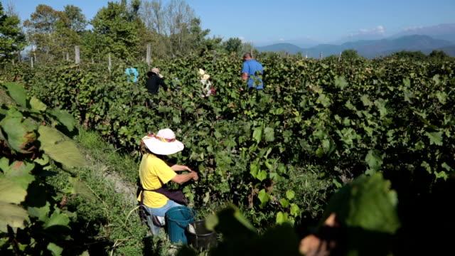 grape harvesting, telavi, kakheti, georgia - viniculture stock videos & royalty-free footage