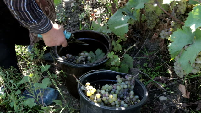 grape harvesting, telavi, kakheti, georgia - winemaking stock videos & royalty-free footage