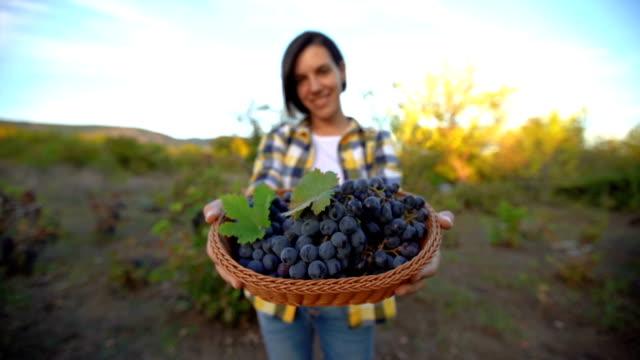 grape harvesting time - uva video stock e b–roll