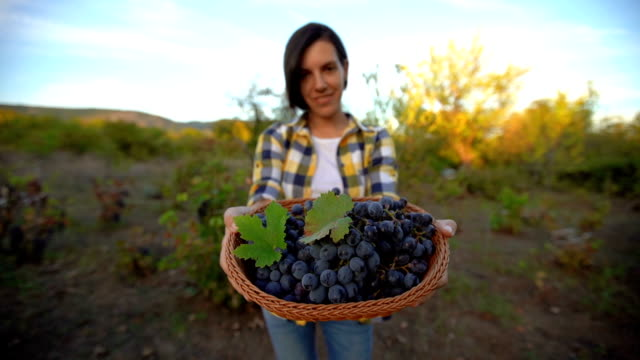 grape harvesting time - red grape stock videos & royalty-free footage