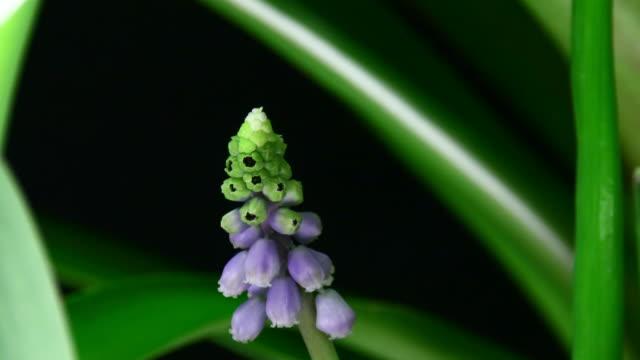 grape hyacinth growing - hyacinth stock videos & royalty-free footage