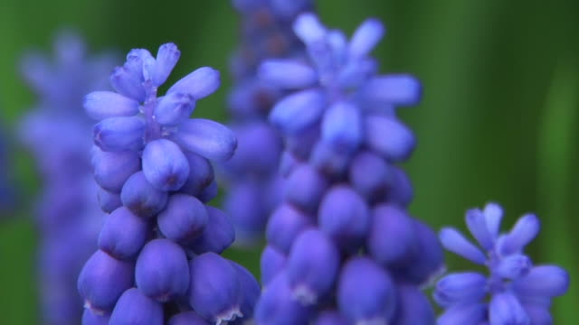 hd, ntsc: grape hyacinth (video) - hyacinth stock videos & royalty-free footage