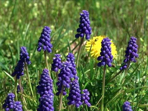 grape hyacinth - hyacinth stock videos & royalty-free footage