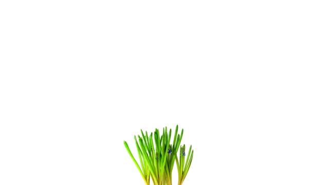 grape hyacinths; time lapse - hyacinth stock videos & royalty-free footage
