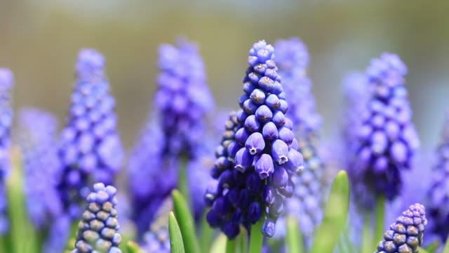 HD: Grape Hyacinths