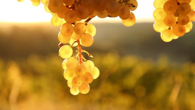 HD DOLLY: Grape Illuminated By The Sunlight