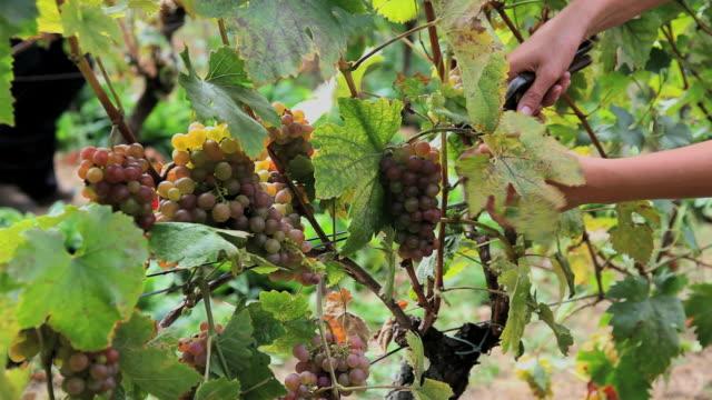グレープのブドウ園 - ブドウ点の映像素材/bロール