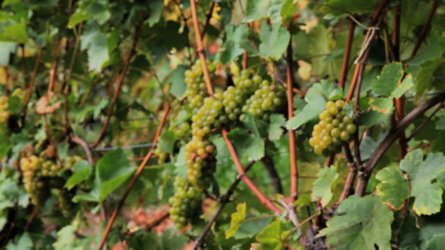 grape in vineyard - intoning bildbanksvideor och videomaterial från bakom kulisserna
