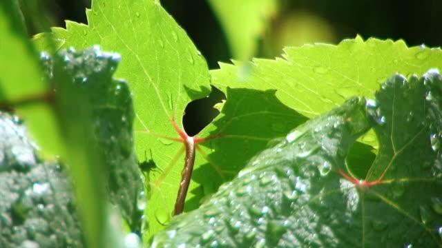 grape leaf. - grape leaf stock videos and b-roll footage