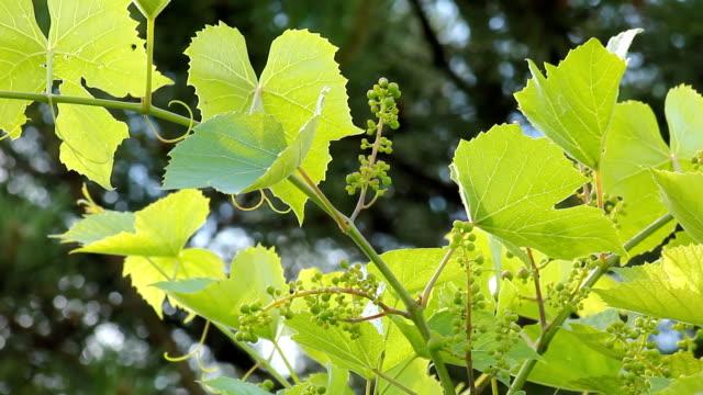 grape leaf - grape leaf stock videos and b-roll footage
