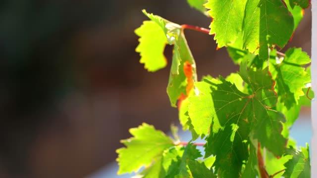 vídeos y material grabado en eventos de stock de grape leaves moving against the light - hoja de la vid