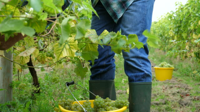 grape picker is harvesting grapes in vine yard - vine stock videos and b-roll footage