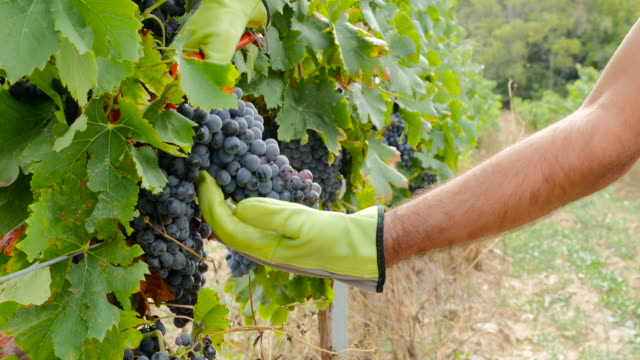 grape picker who harvesting grape - gardening glove stock videos & royalty-free footage