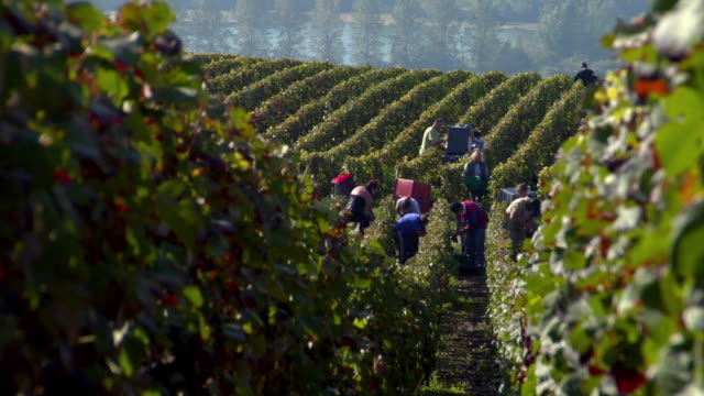 vídeos y material grabado en eventos de stock de ws grape pickers hand picking grapes during champagne harvest / epernay, champagne ardennes, france - oficio agrícola