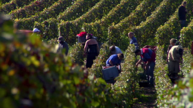 ws grape pickers hand picking grapes during champagne harvest / epernay, champagne ardennes, france - picking harvesting stock videos & royalty-free footage