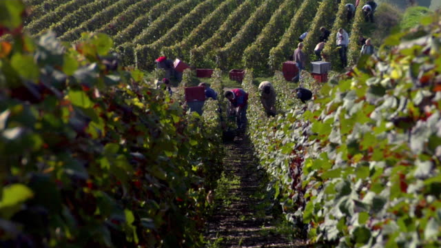 WS ZI Grape pickers hand picking grapes during Champagne Harvest / Epernay, Champagne Ardennes, France