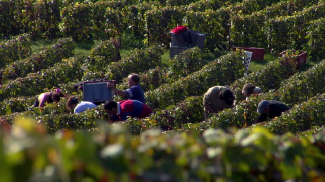 vídeos de stock, filmes e b-roll de ws grape pickers hand picking grapes during champagne harvest / epernay, champagne ardennes, france - migrant worker