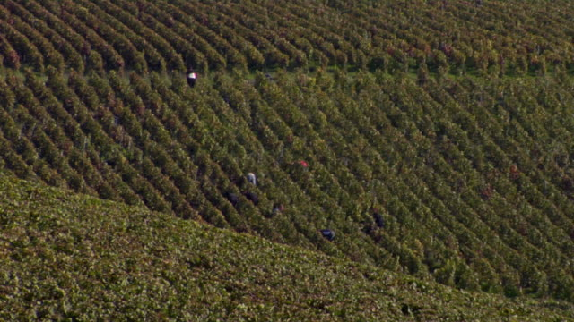 vidéos et rushes de ws ha grape pickers hand picking grapes during champagne harvest / epernay, champagne ardennes, france - champagne