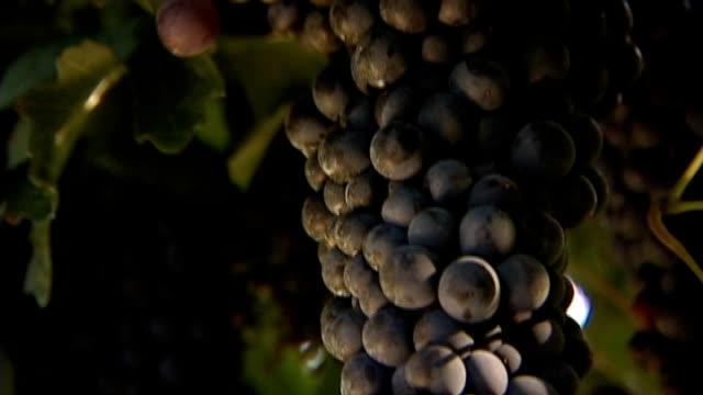 grape red merlot