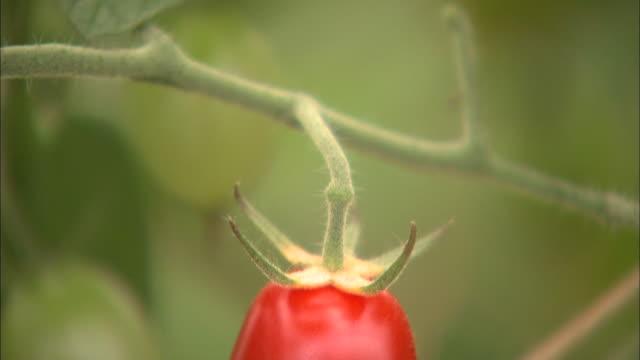 A grape tomato ripens on the vine.
