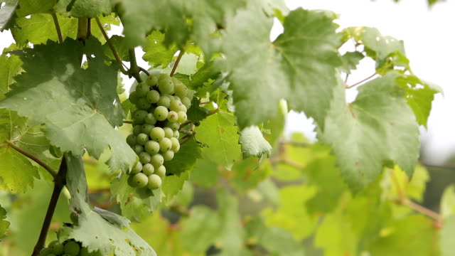 grape - grape leaf stock videos and b-roll footage