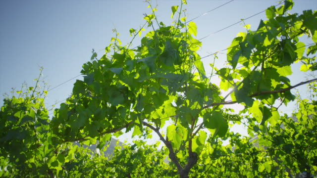 grape vine at daylight - vine stock videos & royalty-free footage