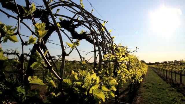 vidéos et rushes de raisin vigne en plein essor - bouton de fleur