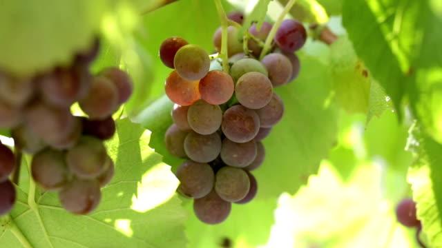 Grape vine closeup.
