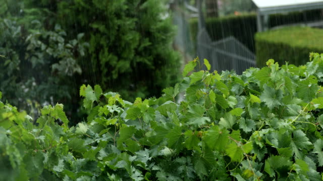 grape vine in rain - sprinkles stock videos and b-roll footage