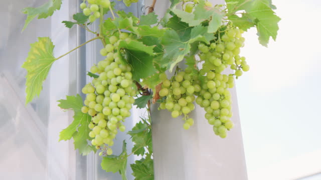grape vine in the garden - grape stock videos & royalty-free footage