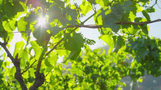 grape vines at daylight - rankenpflanze stock-videos und b-roll-filmmaterial