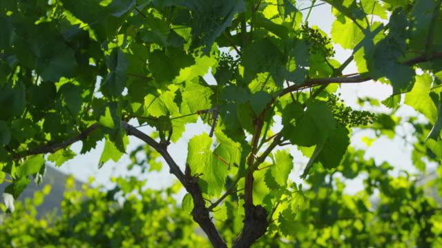 grape vines at daylight - otago region stock videos & royalty-free footage
