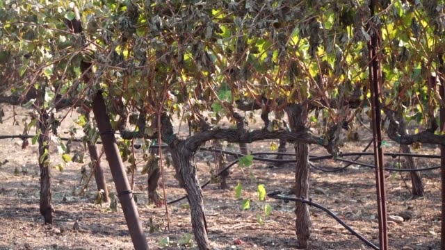 grape vines have survived the wildfires at the paradise ridge winery in sonoma county california but a building housing barrels and wine vats was... - bottich stock-videos und b-roll-filmmaterial