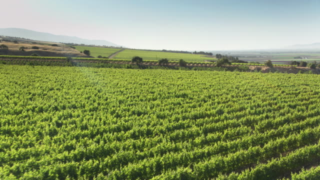 grape vines swaying in breeze at vineyard in monterey county, ca - aerial shot - monterey county stock videos and b-roll footage