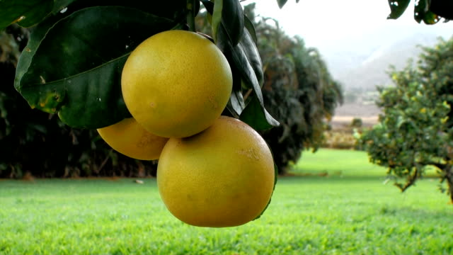 grapefruit tree - cultivated stock videos & royalty-free footage