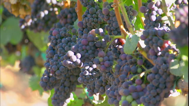 grapes grow on vines at a vineyard in napa valley, california. - napa california video stock e b–roll