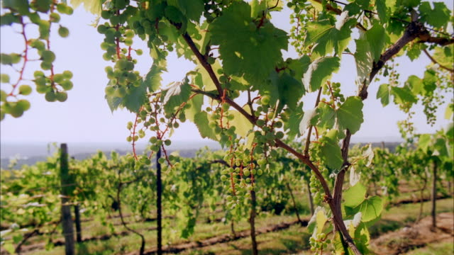 cu, selective focus, grapes growing in vineyard, marlboro, new york state, usa - marlboro new york stock videos and b-roll footage
