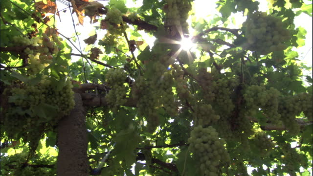 grapes growing on vines, turfan, xinjiang province, china - vine stock videos and b-roll footage