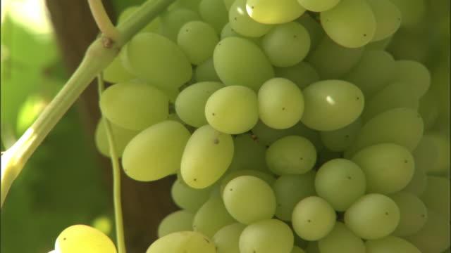 grapes growing on vines, turfan, xinjiang province, china - uva video stock e b–roll