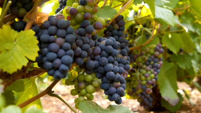 grapes hanging of the vineyard, - rankenpflanze stock-videos und b-roll-filmmaterial